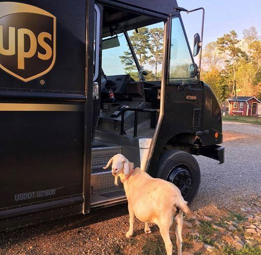 a goat fell in love with the UPS man.jpg
