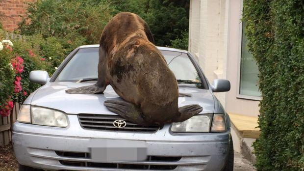 a seal on a car.jpg