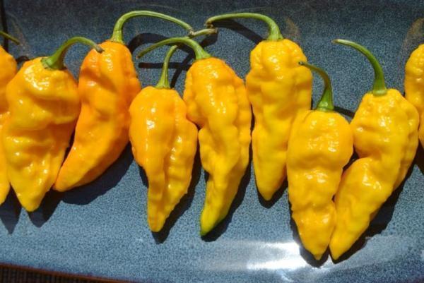 ghost peppers.jpg