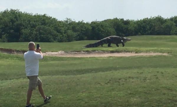 huge alligator.jpg
