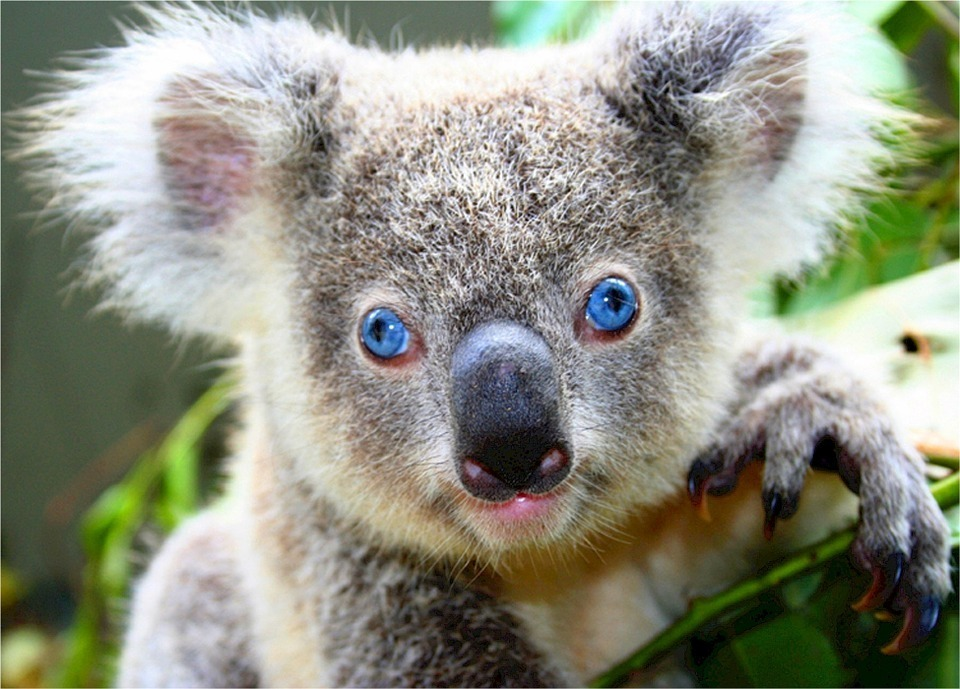 koala-518312_960_720.jpg