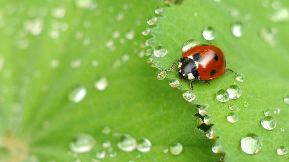 ladybug-1058775_960_720.jpg