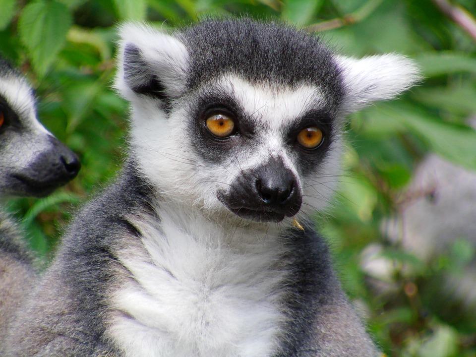 lemur2.jpg
