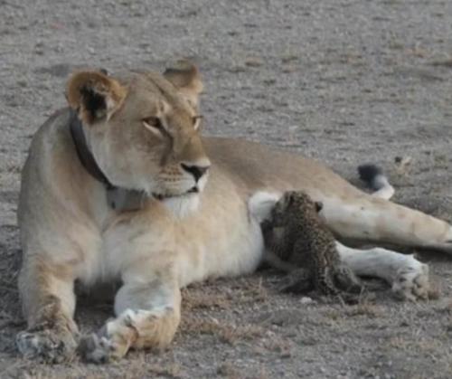 lion nursing leopard cub.jpg
