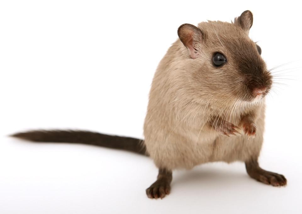mouse-gerbil.jpg