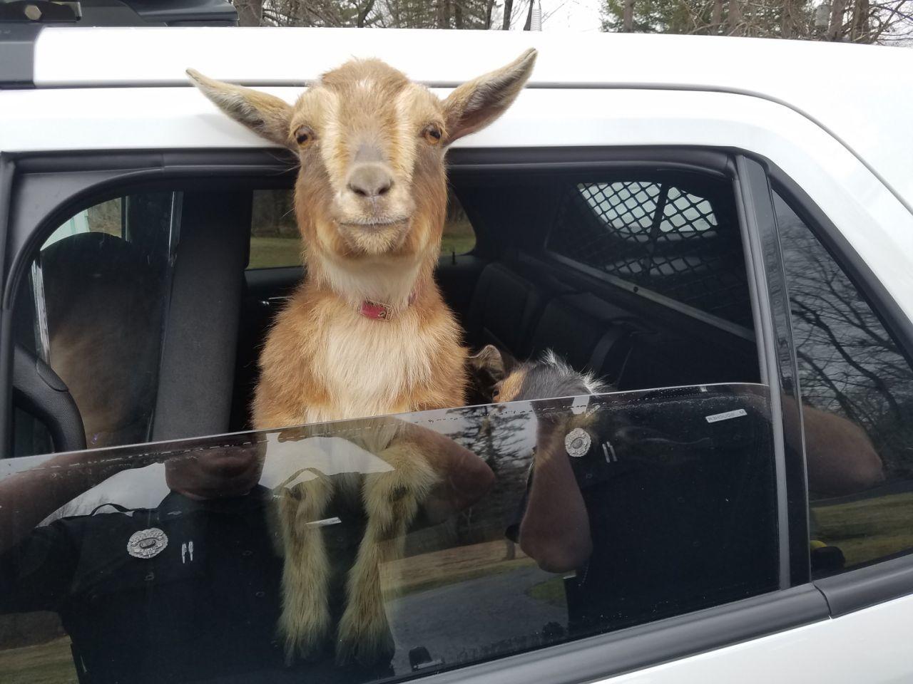 pygmy goats in squad car1.jpg