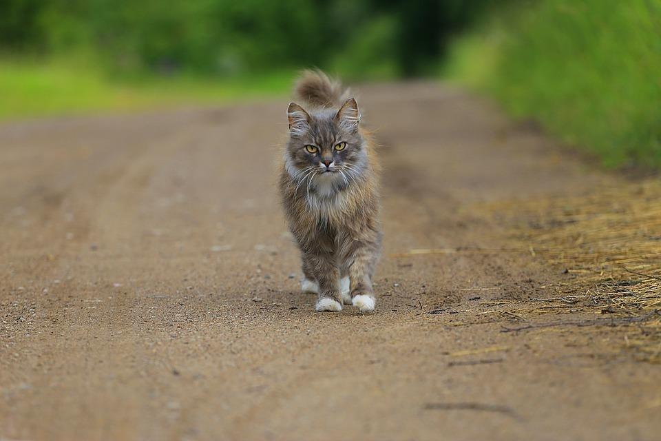 walking cat.jpg