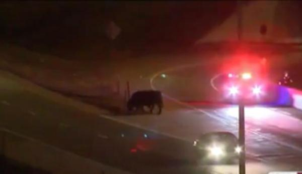 12 cows wandering on freeway.jpg
