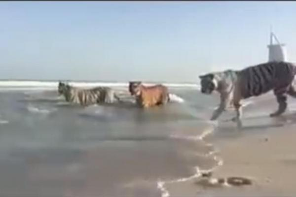 5 tigers in the beach in Dubai.jpg