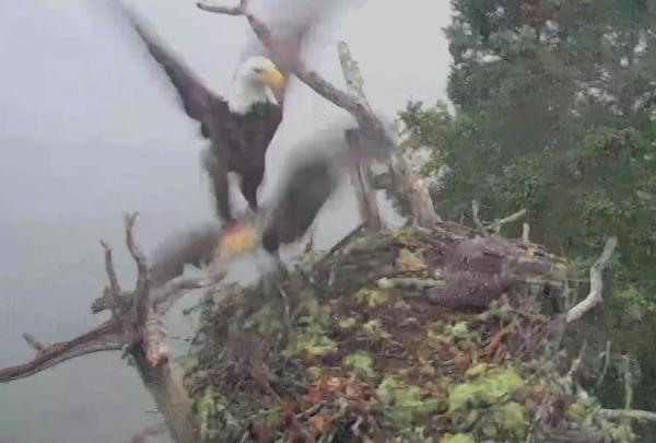 Bald-eagle-snatches-osprey-chick-in-raid-on-nest.jpg