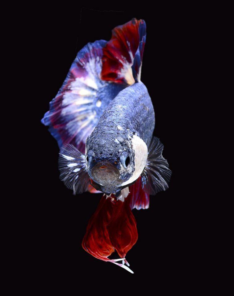 Betta fish with Thai flag colors3.jpg