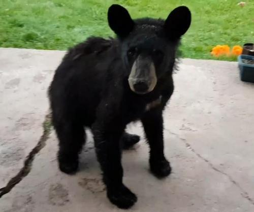 Cute-baby-bear-turns-up-on-Ontario-womans-doorstep.jpg