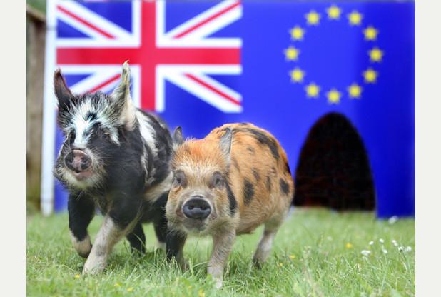 イギリス投票豚.jpg