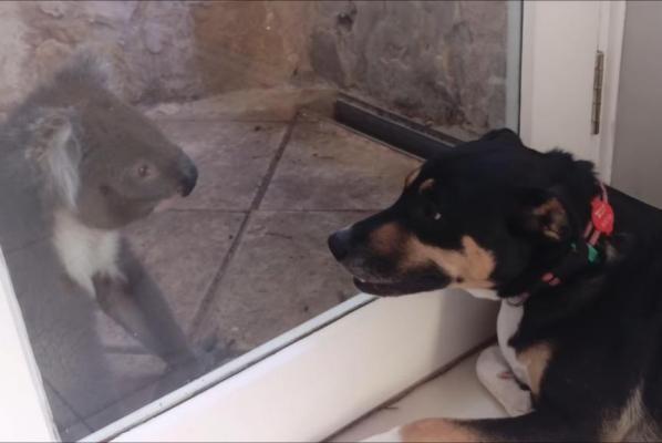 Koala makes friends with dog.jpg