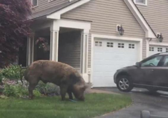 Police-capture-1000-pound-escaped-pig.jpg