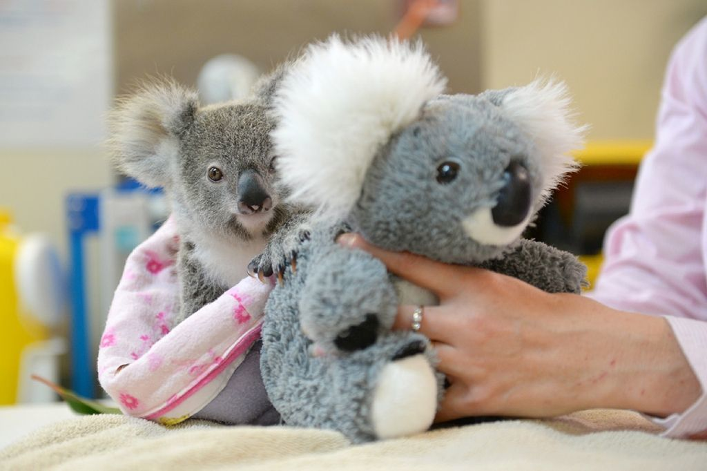 Shayne the baby koala.jpg