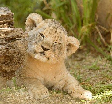 a baby lion.jpg