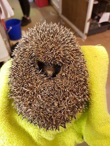 a ball of mud hedgehog3.jpg