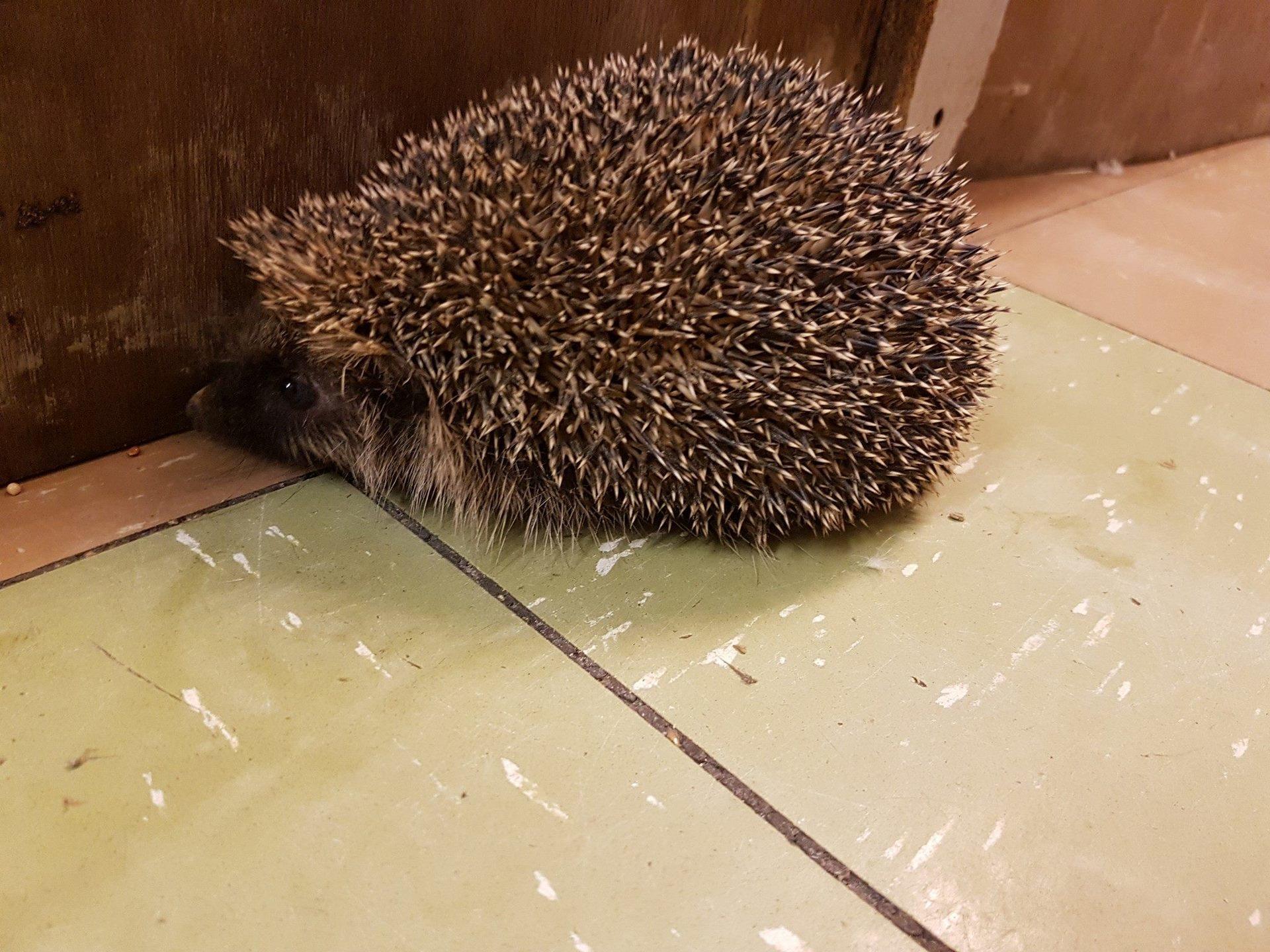 a ball of mud hedgehog4.jpg