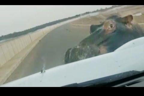 a hippo attacks the car.jpg