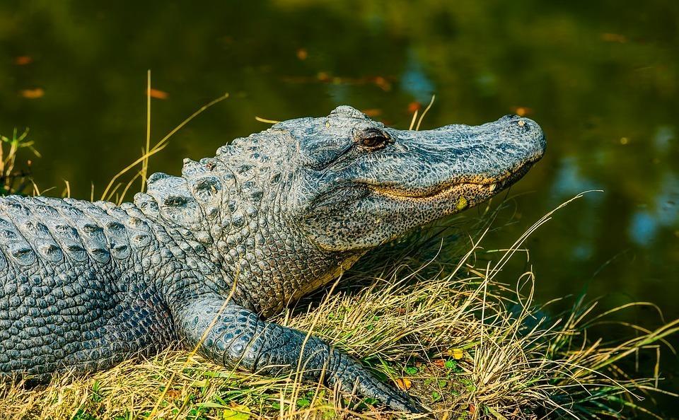 alligator-1988073_960_720.jpg