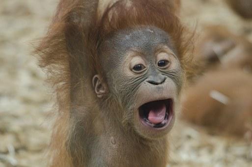 baby-orangutan.jpg