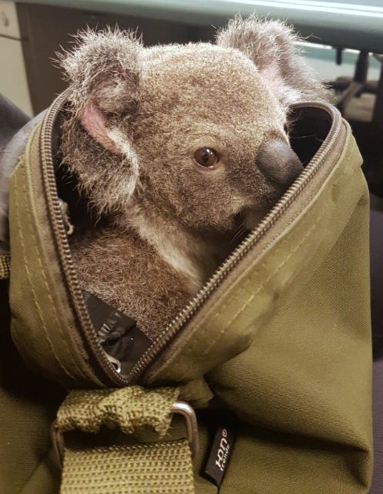 baby koala with police2.jpg