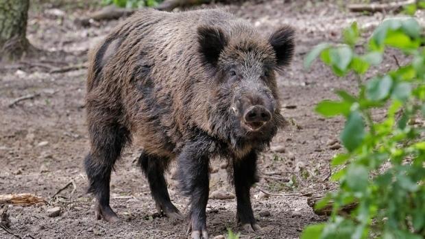 boar chased British ambassador.jpg