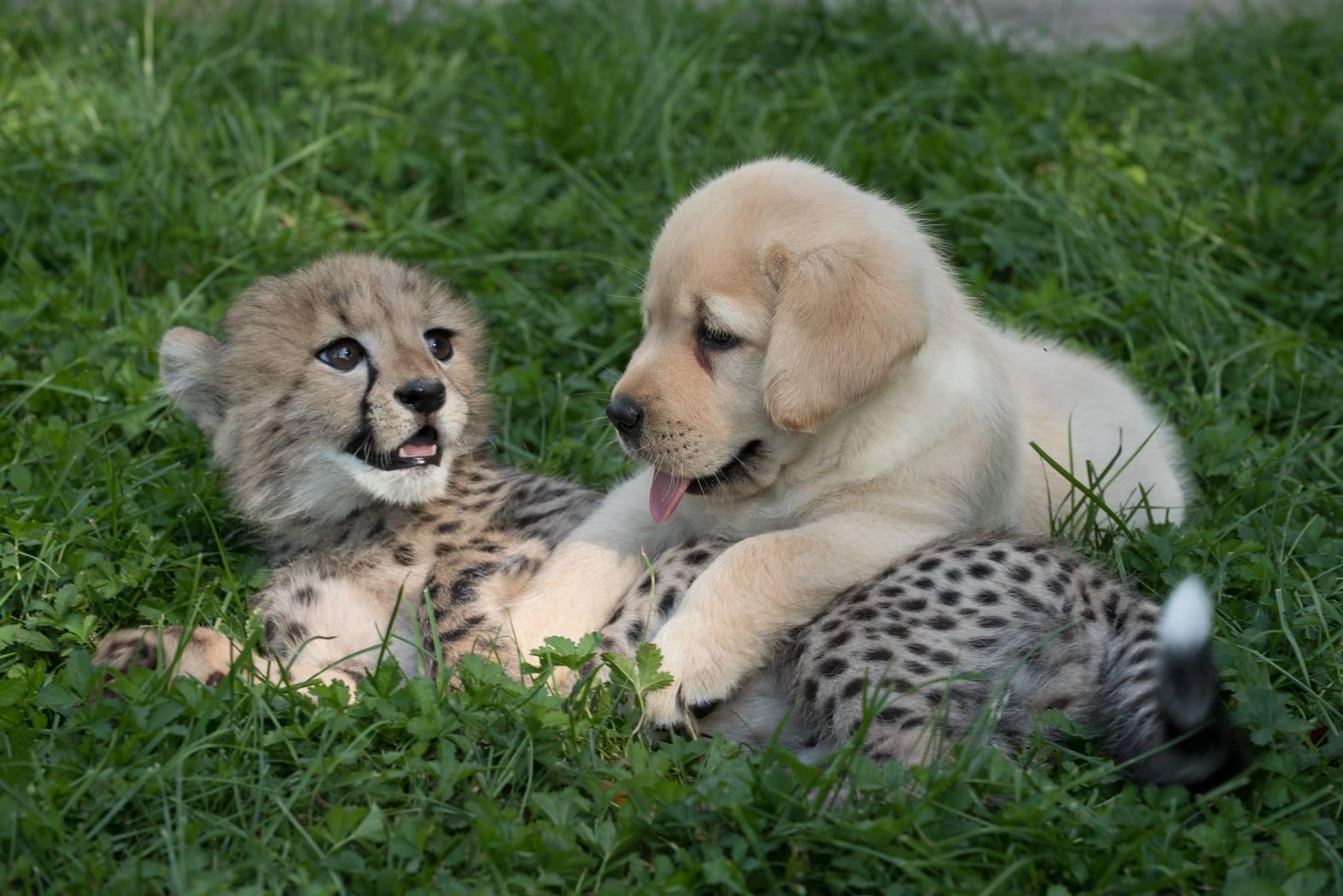cheetah and puppy1.jpg