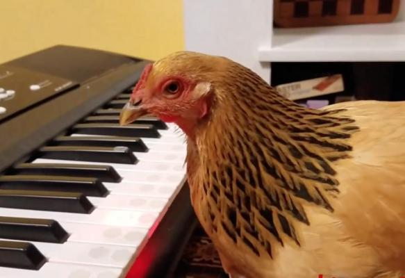 chiken peck away.jpg