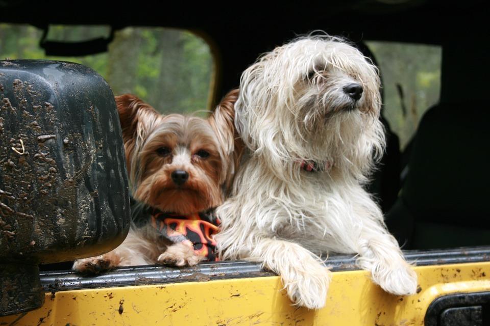 dogs-on the car.jpg