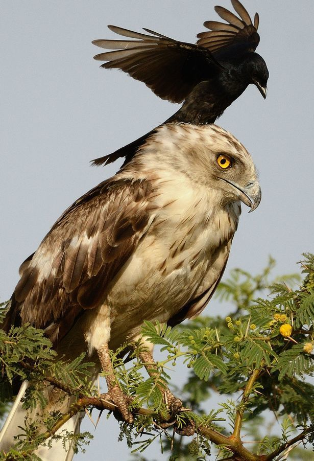 eagle annoyed by crow2.jpg