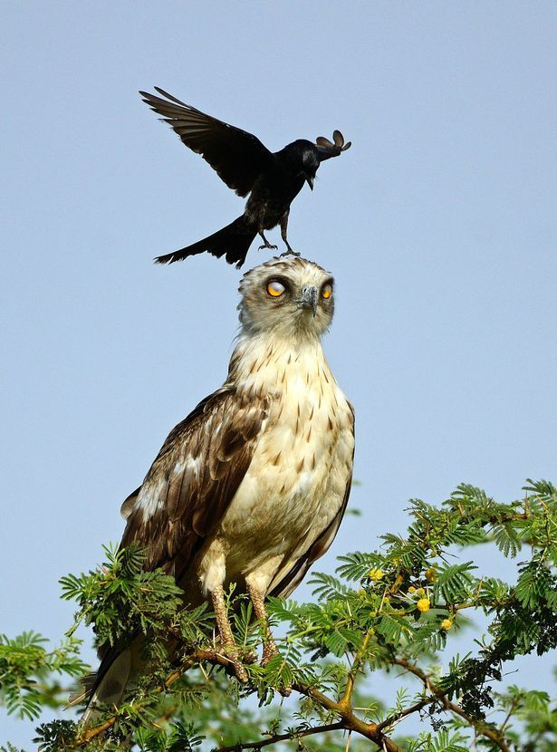 eagle annoyed by crow5.jpg