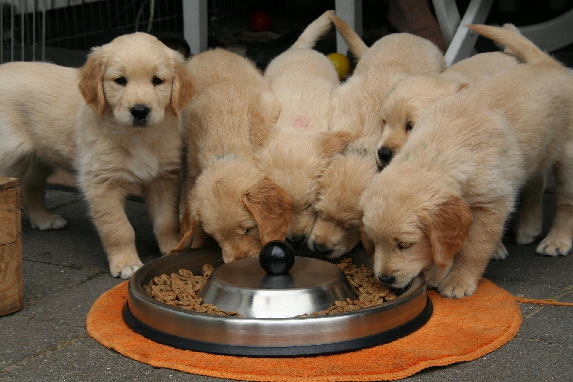 eating golden retriever puppies.jpg