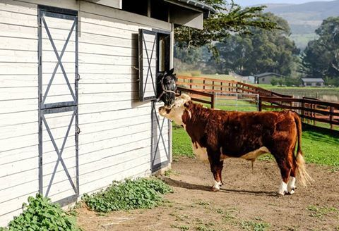 friendship between a steer and a horse.jpg