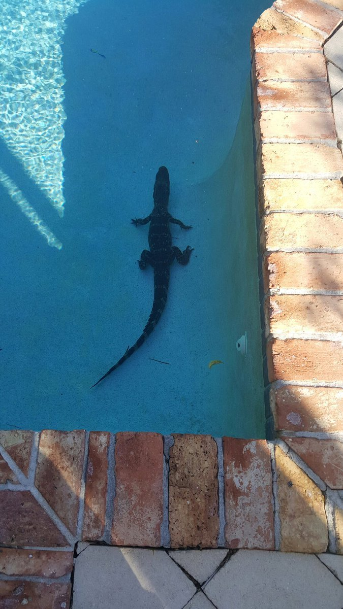 gator in a swiming pool.jpg