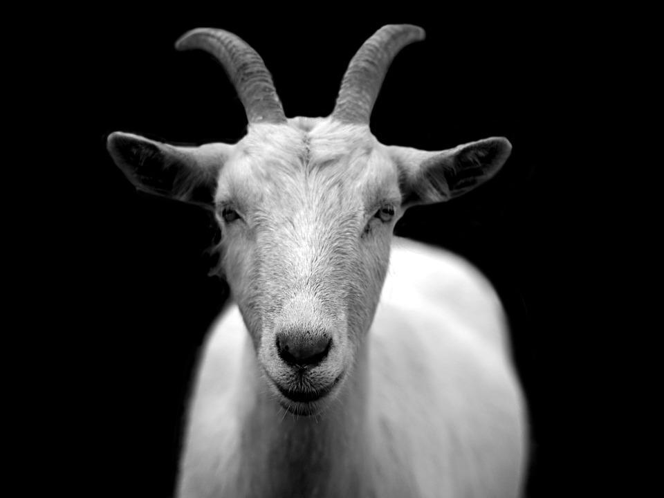 goat-50290_960_720.jpg