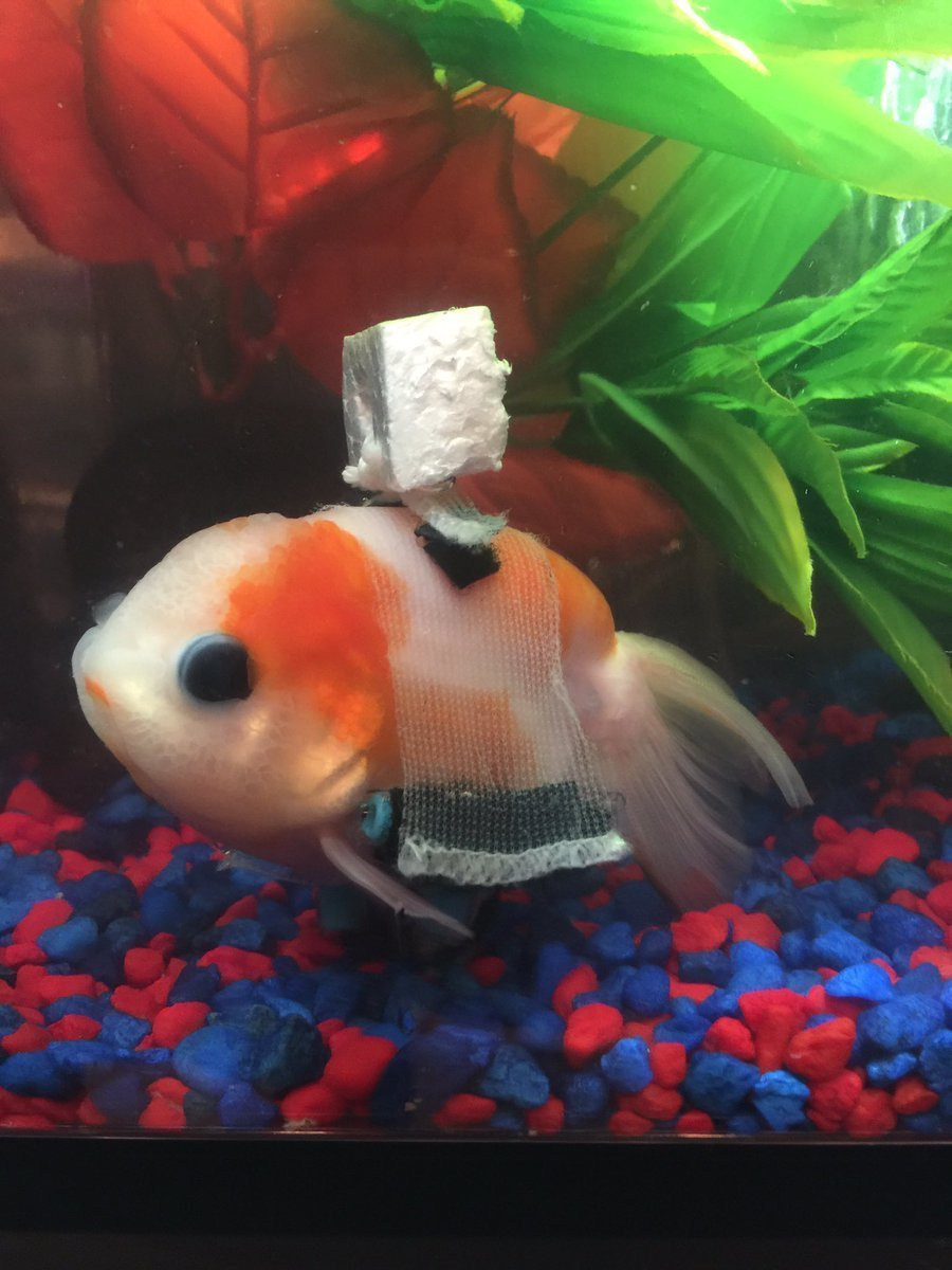 gold fish with wheel chair.jpg