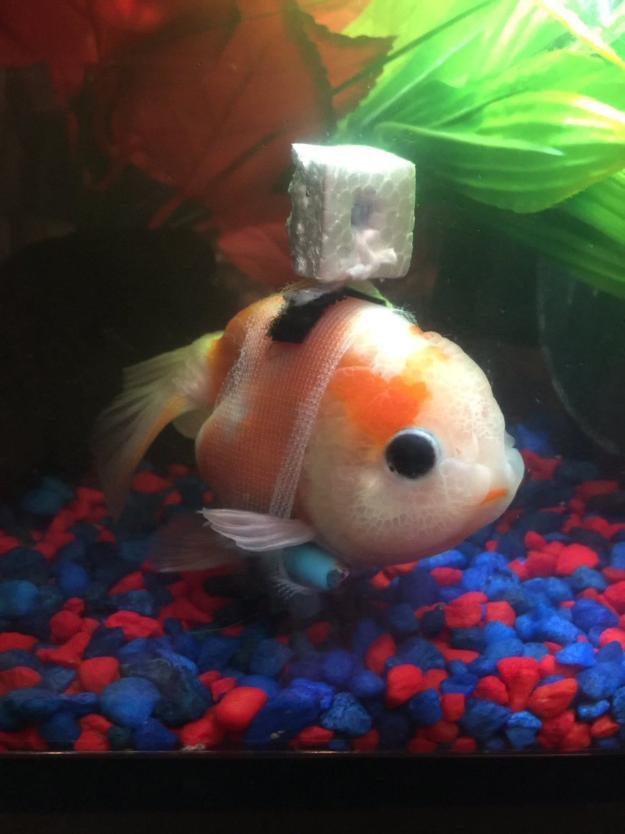 gold fish with wheel chair2.jpg