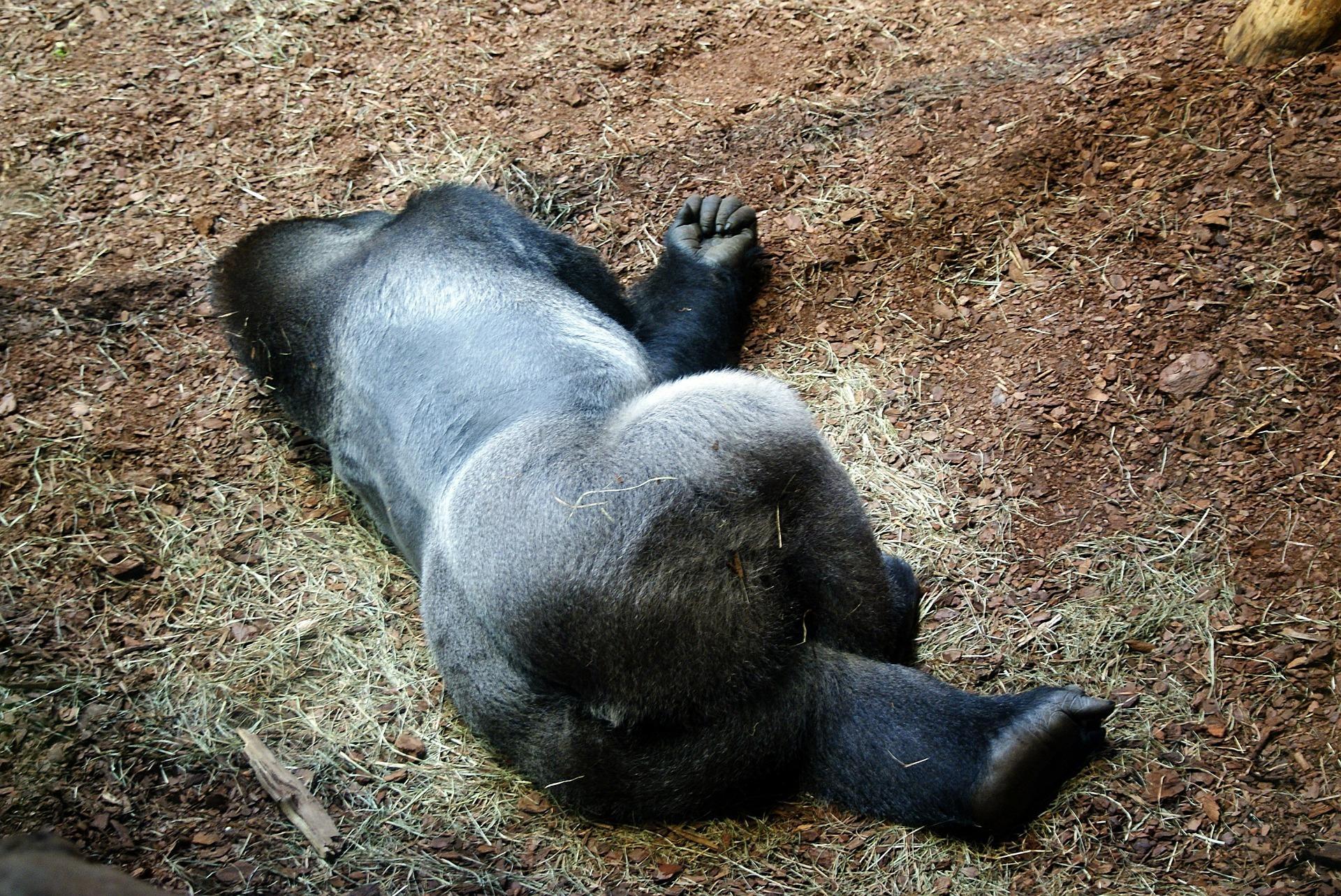 gorilla-368499_1920.jpg