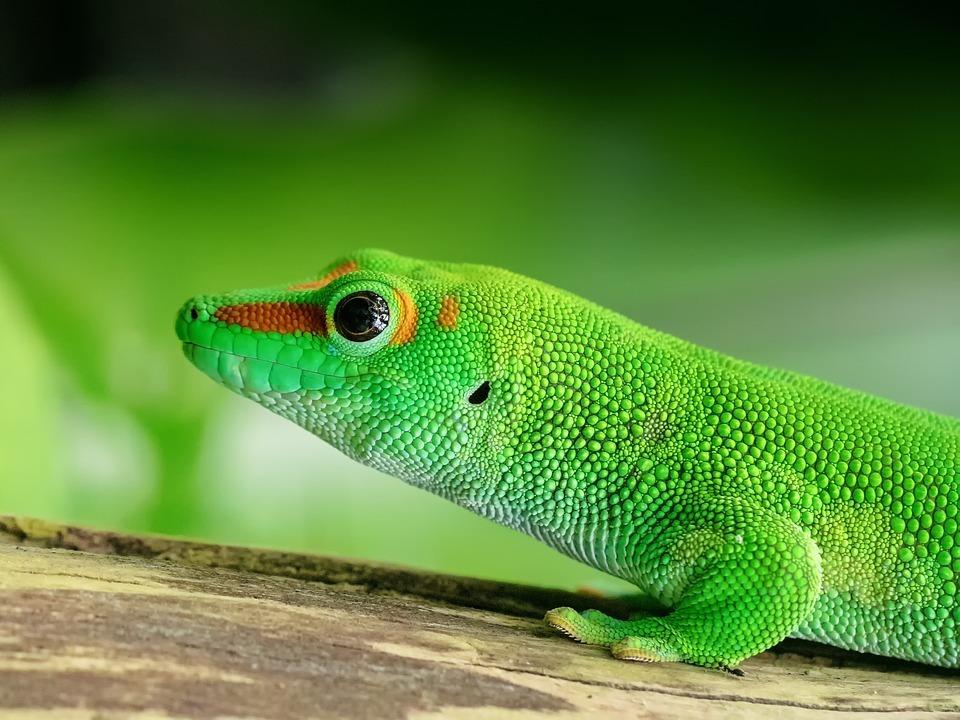 green gecko.jpg