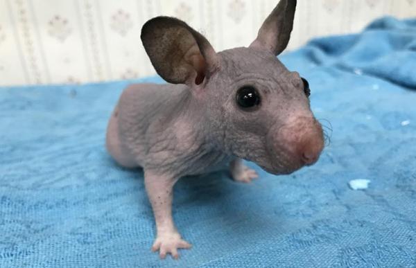 hairless hamster gets tiny sweater2.jpg