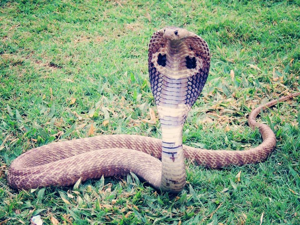 king-cobra.jpg