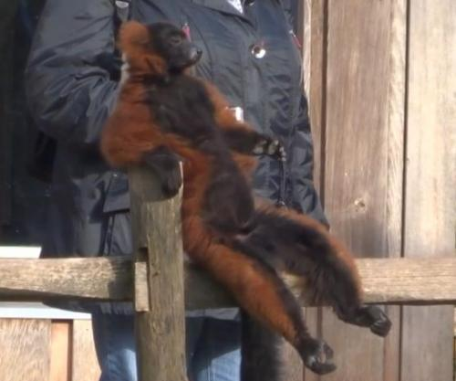 lemur in zoo freely chillaxes.jpg