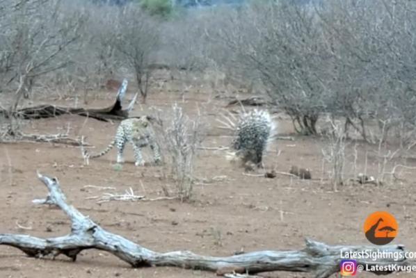 leopard vs porcupines.jpg