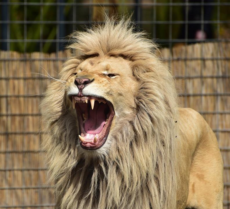 lion-721836_960_720.jpg