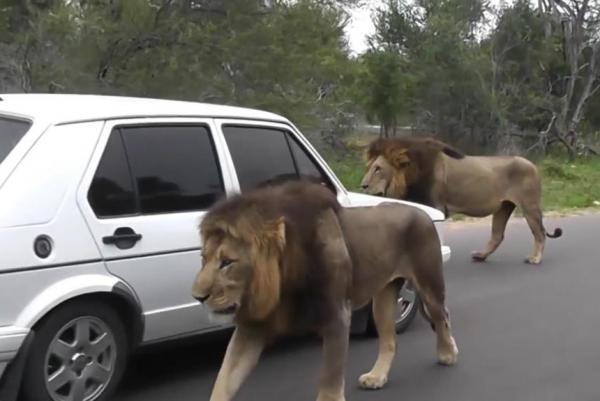 lions weave.jpg