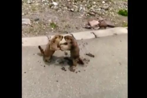 marmot fight.jpg