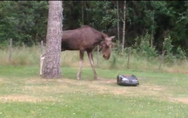 moose vs lawn mower.jpg
