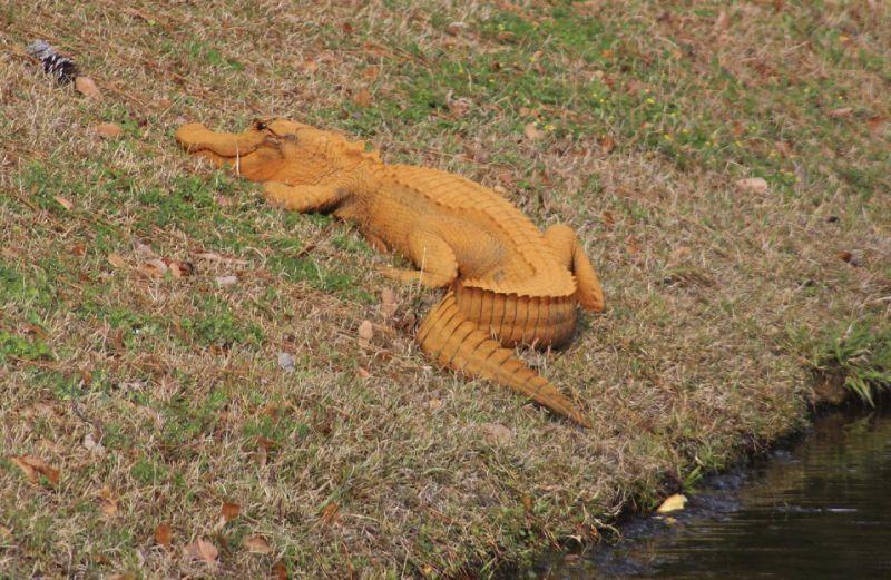 orange colored gator.jpg